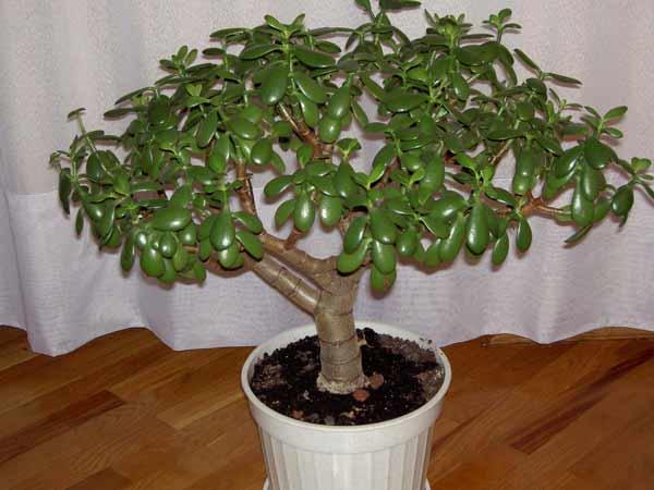 Домашний цветок денежное дерево