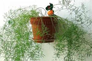 Уход за комнатным растение растением аспарагус