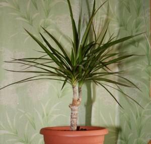 Выращивания комнатной пальмы драцена