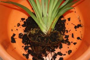 Когда и как пересаживать орхидею