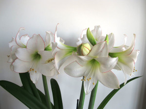 Период цветения амариллиса