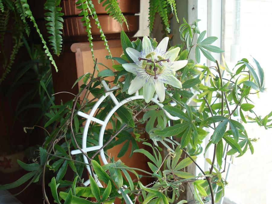 Почему не цветет пассифлора в домашних условиях 697