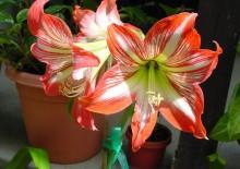 Цветок пеперомия
