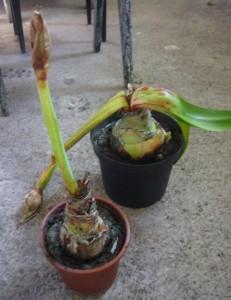 Болезни растения амариллиса