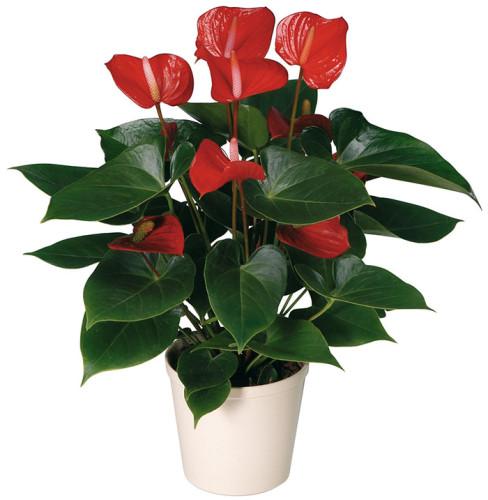 Антуриум цветок размножение