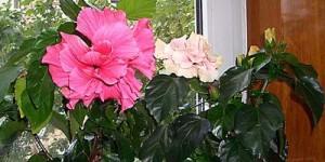 Передвинуть время цветения гибискуса