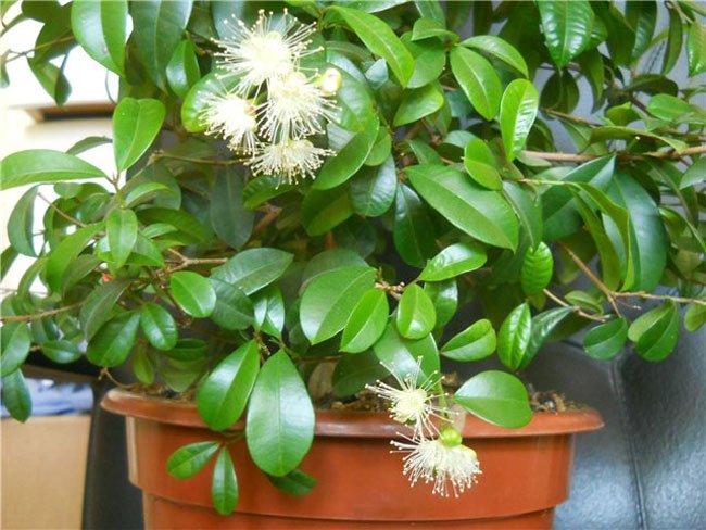 Цветок мирт и как ухаживать за