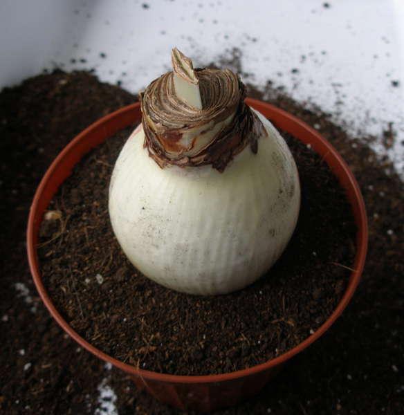 Гиппеаструм как сажать семена 64