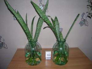 Размножение комнатного цветка сансевиерия