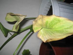 Почему у каллы желтеют и сохнут листья?