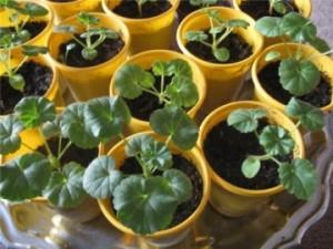 Размножение пеларгонии семенами