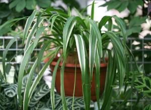 Полив растения Хлорофитум