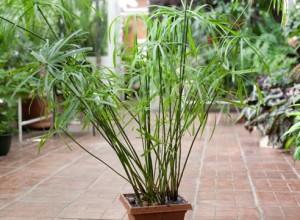 Уход в домашних условиях за комнатным растением циперус