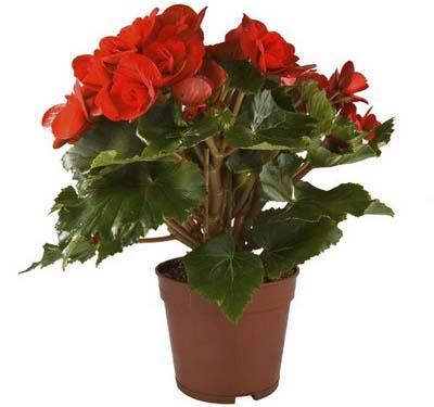 Калерия цветок - уход в домашних условиях, размножение, видео