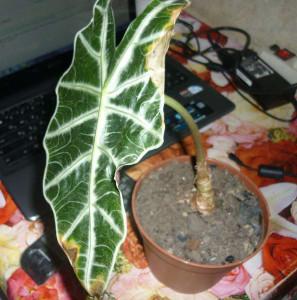 Алоказия - вредители и болезни растения