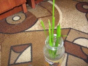 Циперус уход в домашних условиях