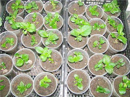 Как вырастить фуксию из семян: посев семян, уход за рассадой и