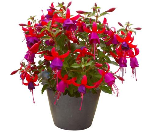 Комнатный цветок фуксия фото