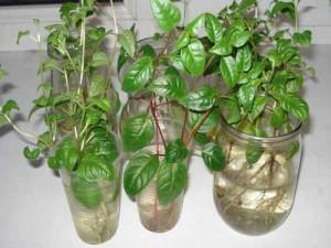 Размножение фуксии в домашних условиях
