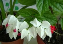 Цветок калатея уход в домашних условиях фото