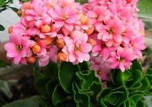 Цветок диффенбахия