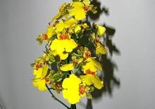 Цветок фиттония