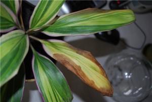 Болезни и особенности лечения комнатного растения в этот период