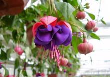 Растение драцена фото