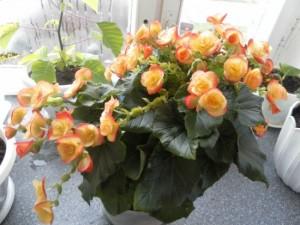 Уход в домашних условиях за комнатным цветком бегония