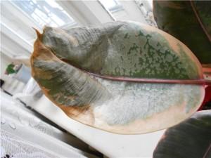 Вредители и болезни фикуса каучуконосного