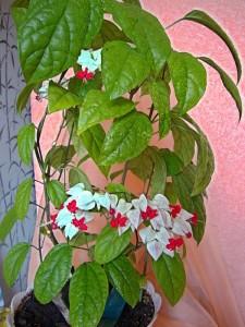 Цветение и период покоя клеродендрума