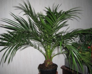 Освещение для комнатной финиковой пальмы