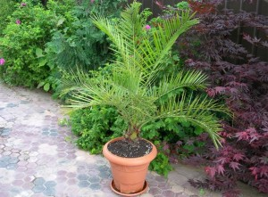 Финиковая пальма дома