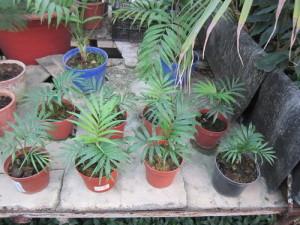 Особенности размножения пальмы хамедорея