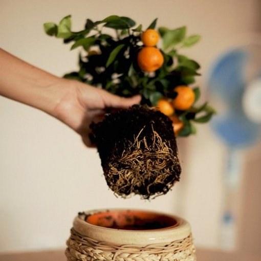 Когда пересадить мандариновое дерево в домашних условиях