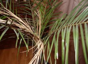 Финиковая пальма сохнет
