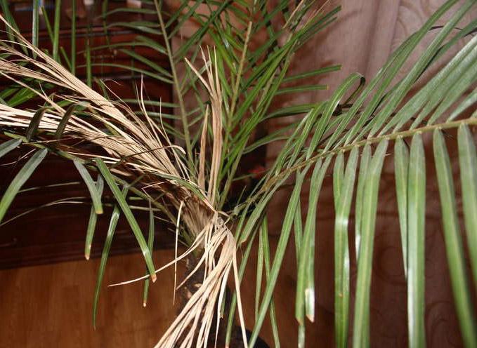 Пальма домашняя сохнут листья уход в домашних условиях 381