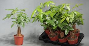 Размножение комнатного растения пахира