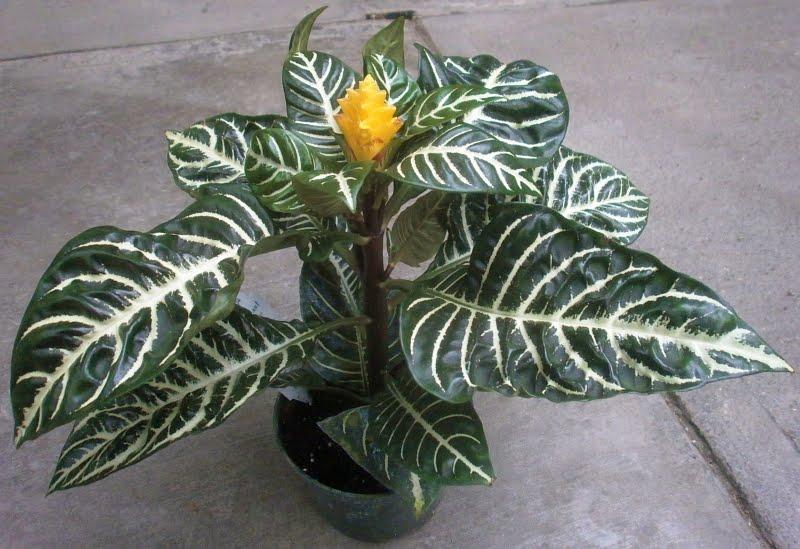 цветок афеландра уход в домашних условиях