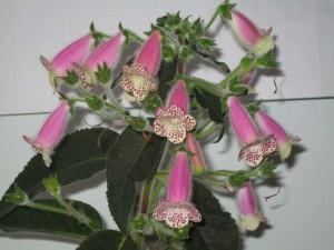 Уход за комнатным растением колерия