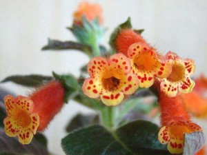 Полив цветка колерия