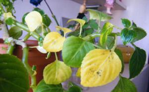 У бальзамина желтеют листья