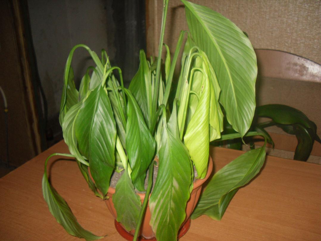 Вискария: выращивание из семян. Посадка и уход в открытом