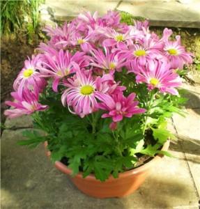 Уход за домашними хризантемами в период вегетации