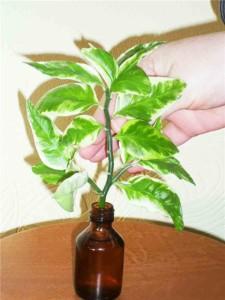 Размножение комнатного растения педилантус