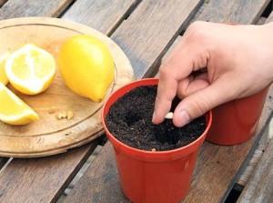 Выращивание лимона из семечки