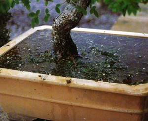 Почва для дерева бонсай