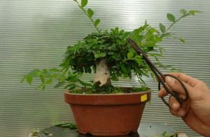 Обрезка комнатного дерева бансай