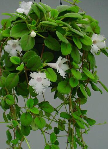 Комнатные растения с мелкими белыми цветами