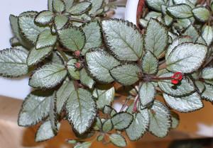Полив и влажность воздуха для комнатного растения эписция